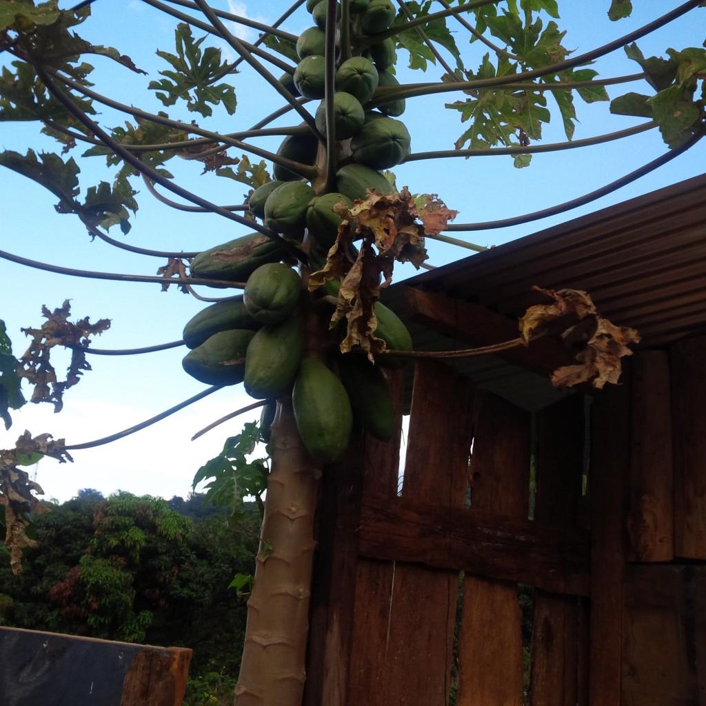 fruit-trees-guatemala